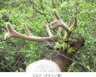 エルク(オオツノ鹿)