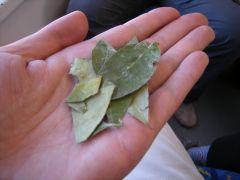 車内で配られ たコカの葉。噛むと高山病予防になるといわれる。