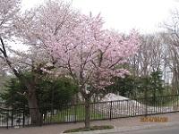 札幌のもいわ山麓に桜咲く!