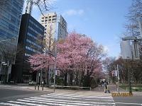 Bu47  早春の桜花咲く大通公園